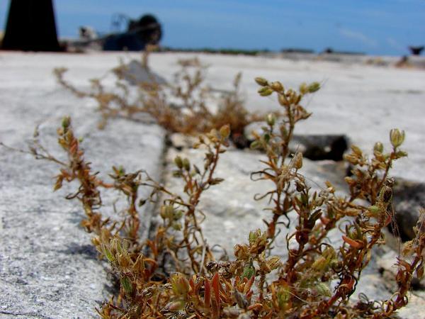 Sandspurry (Spergularia) https://www.sagebud.com/sandspurry-spergularia