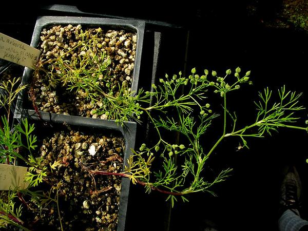Hawai'I Scaleseed (Spermolepis Hawaiiensis) https://www.sagebud.com/hawaii-scaleseed-spermolepis-hawaiiensis