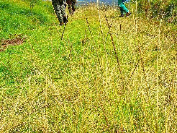 Smut Grass (Sporobolus Indicus) https://www.sagebud.com/smut-grass-sporobolus-indicus