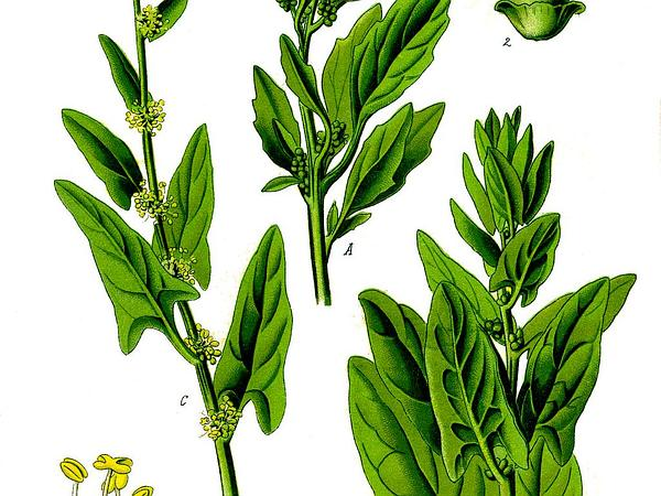 Spinach (Spinacia) https://www.sagebud.com/spinach-spinacia/