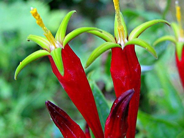 Woodland Pinkroot (Spigelia Marilandica) https://www.sagebud.com/woodland-pinkroot-spigelia-marilandica