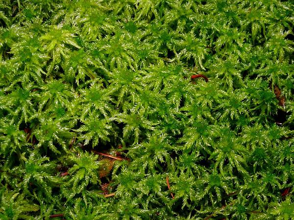 Magellan's Sphagnum (Sphagnum Magellanicum) https://www.sagebud.com/magellans-sphagnum-sphagnum-magellanicum