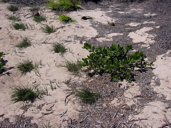 Dropseed (Sporobolus) https://www.sagebud.com/dropseed-sporobolus