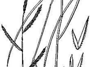 Saltmeadow Cordgrass
