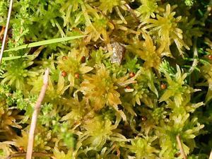 Prairie Sphagnum