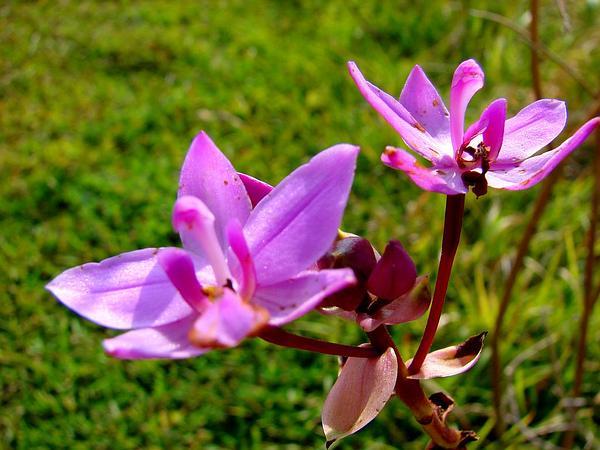 Philippine Ground Orchid (Spathoglottis Plicata) https://www.sagebud.com/philippine-ground-orchid-spathoglottis-plicata