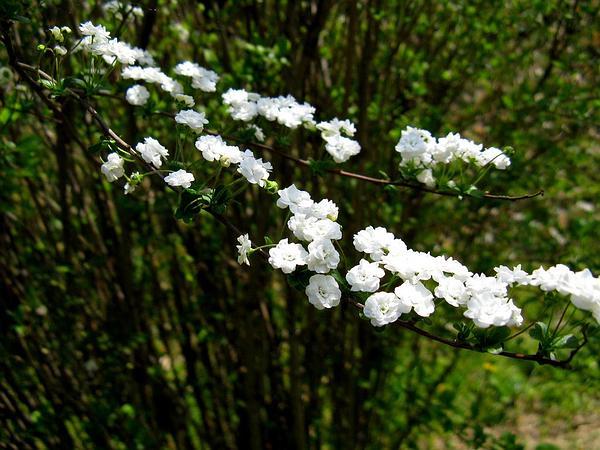 Bridalwreath Spirea (Spiraea Prunifolia) https://www.sagebud.com/bridalwreath-spirea-spiraea-prunifolia/