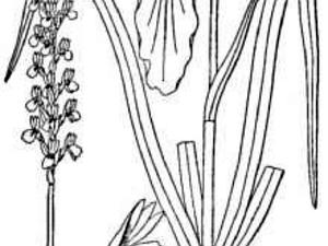 Greenvein Lady's Tresses