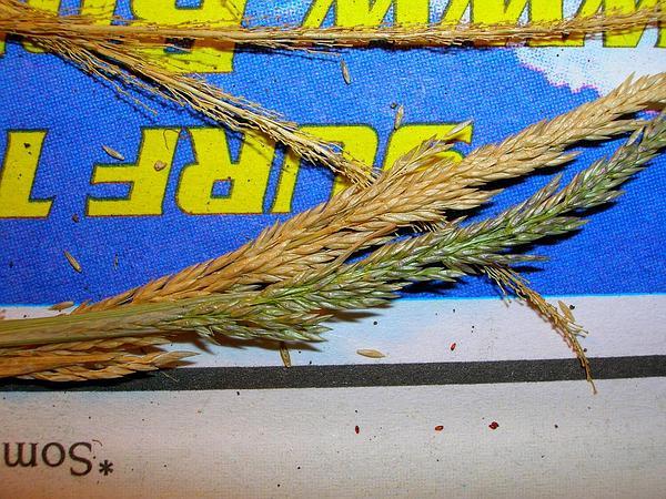 Madagascar Dropseed (Sporobolus Pyramidatus) https://www.sagebud.com/madagascar-dropseed-sporobolus-pyramidatus
