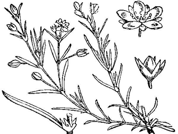 Red Sandspurry (Spergularia Rubra) https://www.sagebud.com/red-sandspurry-spergularia-rubra