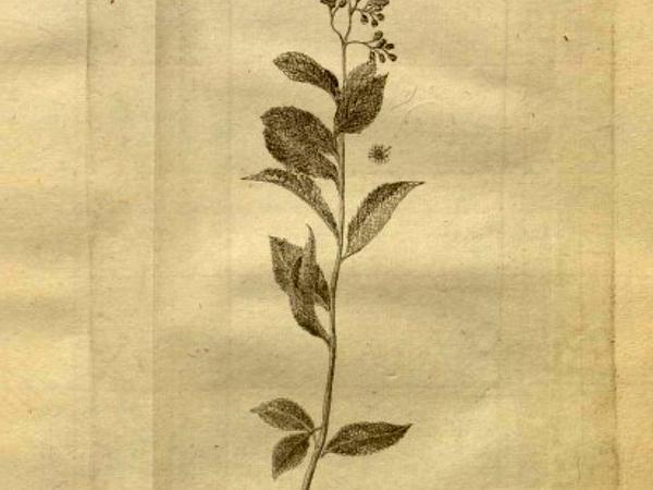 Willowleaf Meadowsweet (Spiraea Salicifolia) https://www.sagebud.com/willowleaf-meadowsweet-spiraea-salicifolia/
