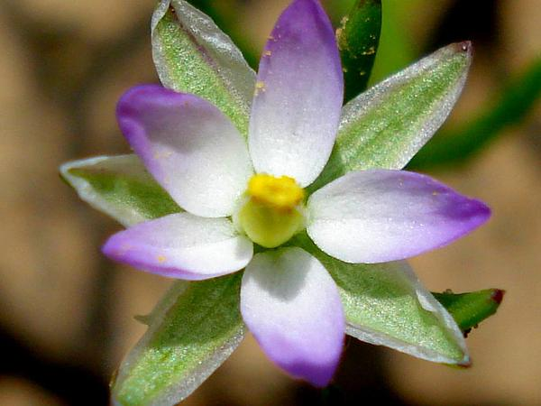 Salt Sandspurry (Spergularia Salina) https://www.sagebud.com/salt-sandspurry-spergularia-salina