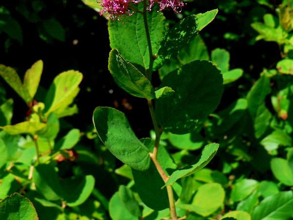Rose Meadowsweet (Spiraea Splendens) https://www.sagebud.com/rose-meadowsweet-spiraea-splendens/