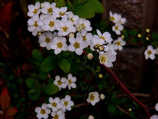 Thunberg's Meadowsweet (Spiraea Thunbergii) https://www.sagebud.com/thunbergs-meadowsweet-spiraea-thunbergii