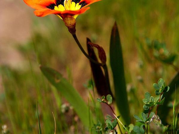 Wandflower (Sparaxis Tricolor) https://www.sagebud.com/wandflower-sparaxis-tricolor