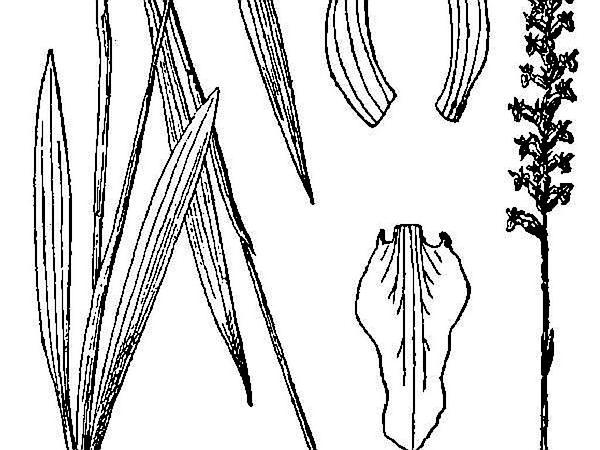 Spring Lady's Tresses (Spiranthes Vernalis) https://www.sagebud.com/spring-ladys-tresses-spiranthes-vernalis