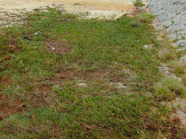 Seashore Dropseed (Sporobolus Virginicus) https://www.sagebud.com/seashore-dropseed-sporobolus-virginicus