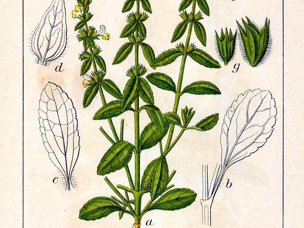 Annual Hedgenettle (Stachys Annua) https://www.sagebud.com/annual-hedgenettle-stachys-annua