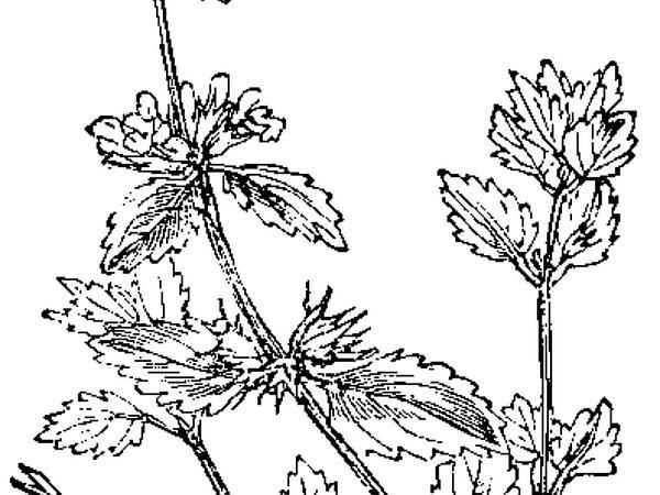 Staggerweed (Stachys Arvensis) https://www.sagebud.com/staggerweed-stachys-arvensis
