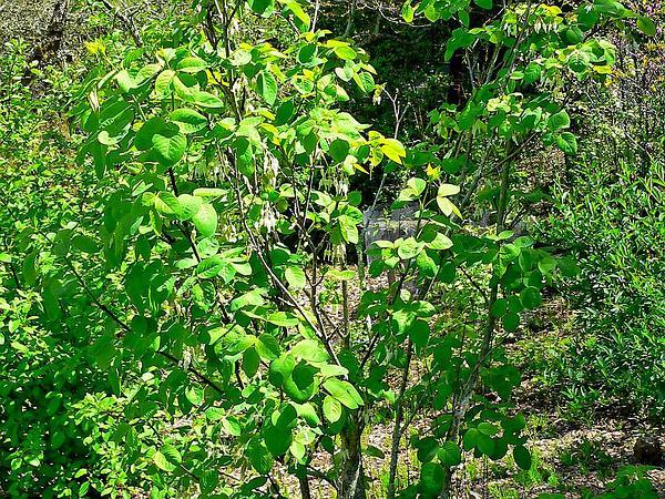 Sierra Bladdernut (Staphylea Bolanderi) https://www.sagebud.com/sierra-bladdernut-staphylea-bolanderi
