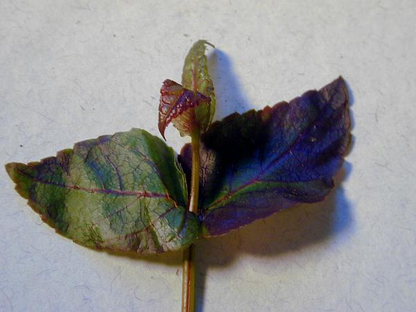Maui Stenogyne (Stenogyne Calycosa) https://www.sagebud.com/maui-stenogyne-stenogyne-calycosa