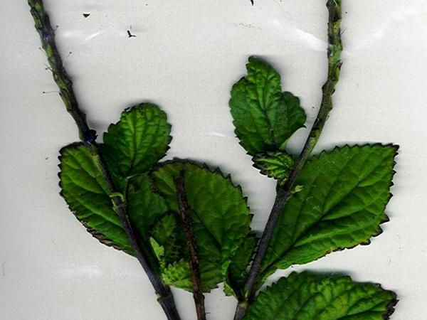 Cayenne Porterweed (Stachytarpheta Cayennensis) https://www.sagebud.com/cayenne-porterweed-stachytarpheta-cayennensis
