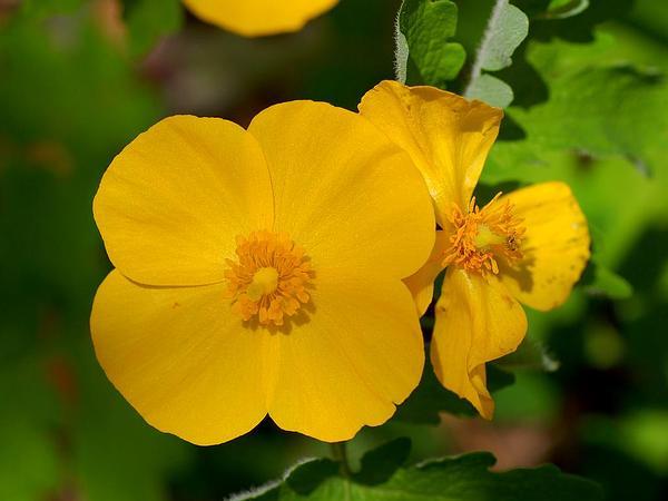 Celandine Poppy (Stylophorum Diphyllum) https://www.sagebud.com/celandine-poppy-stylophorum-diphyllum