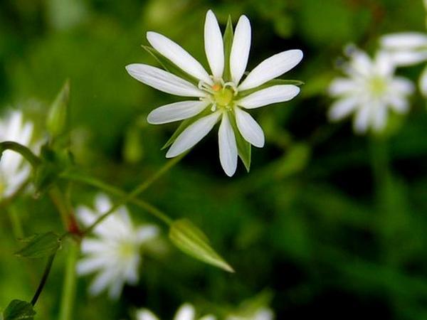 Starwort (Stellaria) https://www.sagebud.com/starwort-stellaria