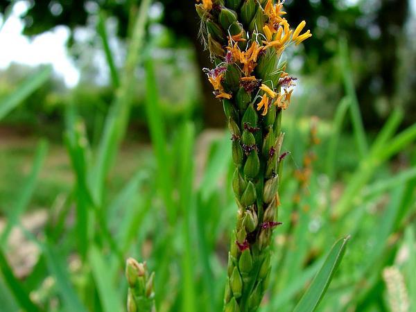 St. Augustine Grass (Stenotaphrum) https://www.sagebud.com/st-augustine-grass-stenotaphrum