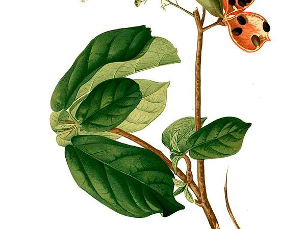 Sterculia (Sterculia) https://www.sagebud.com/sterculia-sterculia