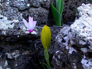 Winter Daffodil