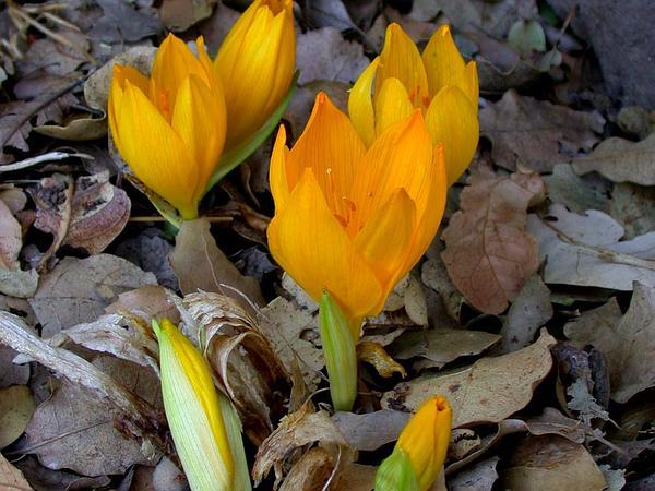 Winter Daffodil (Sternbergia) https://www.sagebud.com/winter-daffodil-sternbergia/