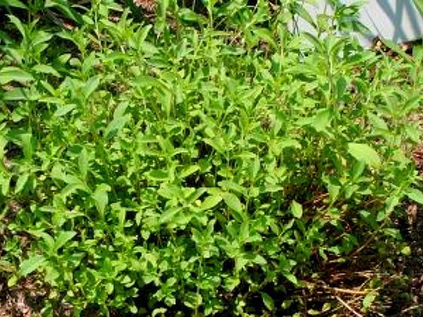 Candyleaf (Stevia) https://www.sagebud.com/candyleaf-stevia