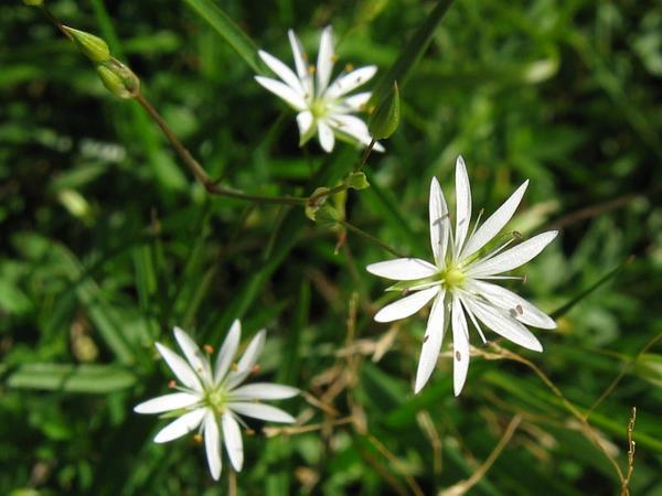 Grass-Like Starwort (Stellaria Graminea) https://www.sagebud.com/grass-like-starwort-stellaria-graminea