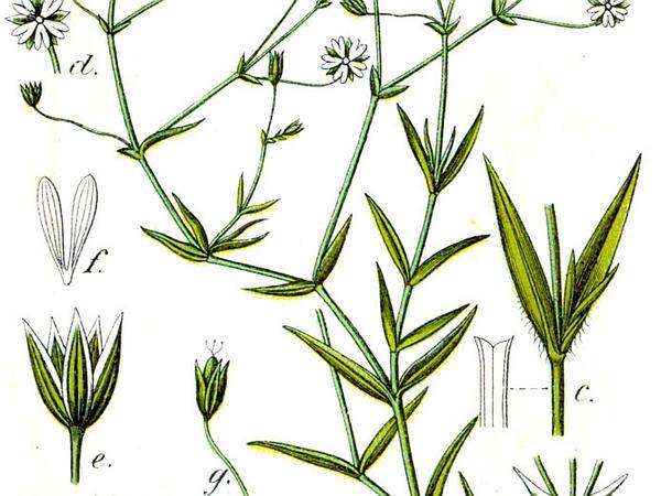 Grass-Like Starwort (Stellaria Graminea) https://www.sagebud.com/grass-like-starwort-stellaria-graminea/
