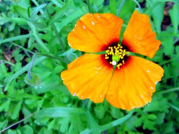 Windpoppy (Stylomecon Heterophylla) https://www.sagebud.com/windpoppy-stylomecon-heterophylla/