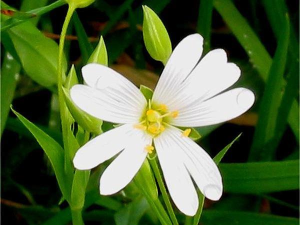Addersmeat (Stellaria Holostea) https://www.sagebud.com/addersmeat-stellaria-holostea