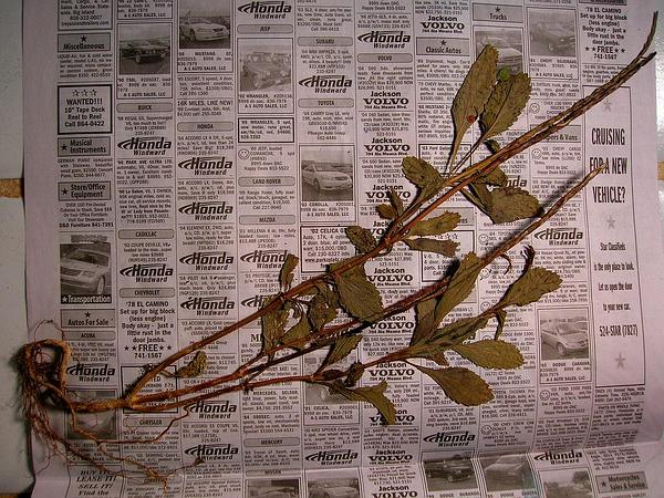 Light-Blue Snakeweed (Stachytarpheta Jamaicensis) https://www.sagebud.com/light-blue-snakeweed-stachytarpheta-jamaicensis