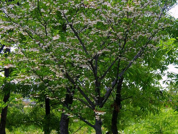Japanese Snowbell (Styrax Japonicus) https://www.sagebud.com/japanese-snowbell-styrax-japonicus/
