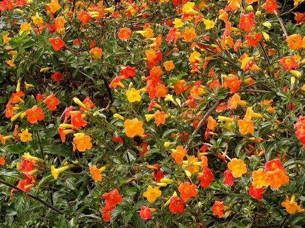 Marmalade Bush (Streptosolen Jamesonii) https://www.sagebud.com/marmalade-bush-streptosolen-jamesonii