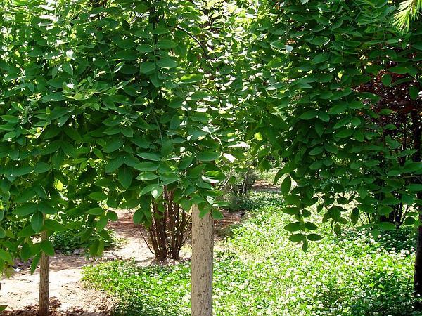 Japanese Pagoda Tree (Styphnolobium Japonicum) https://www.sagebud.com/japanese-pagoda-tree-styphnolobium-japonicum