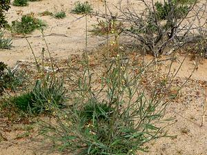 Longbeak Streptanthella