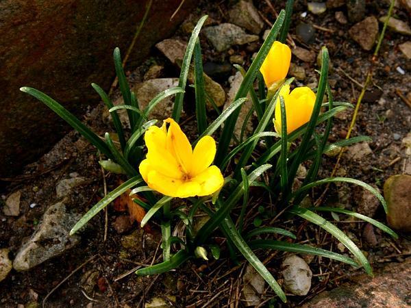 Winter Daffodil (Sternbergia Lutea) https://www.sagebud.com/winter-daffodil-sternbergia-lutea