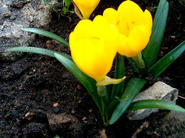 Winter Daffodil (Sternbergia Lutea) https://www.sagebud.com/winter-daffodil-sternbergia-lutea/