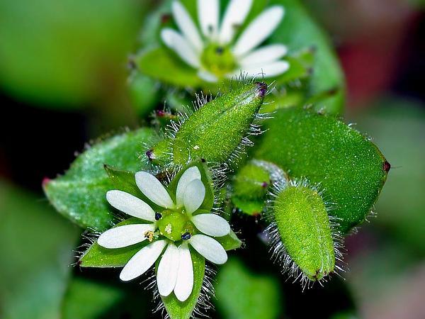 Common Chickweed (Stellaria Media) https://www.sagebud.com/common-chickweed-stellaria-media/