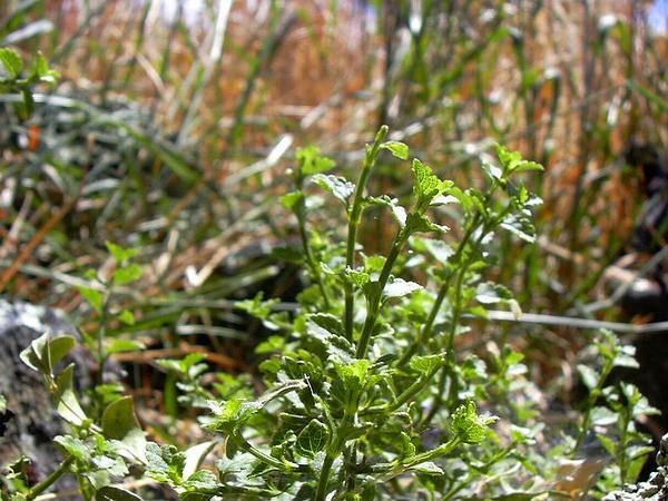 Littleleaf Stenogyne (Stenogyne Microphylla) https://www.sagebud.com/littleleaf-stenogyne-stenogyne-microphylla
