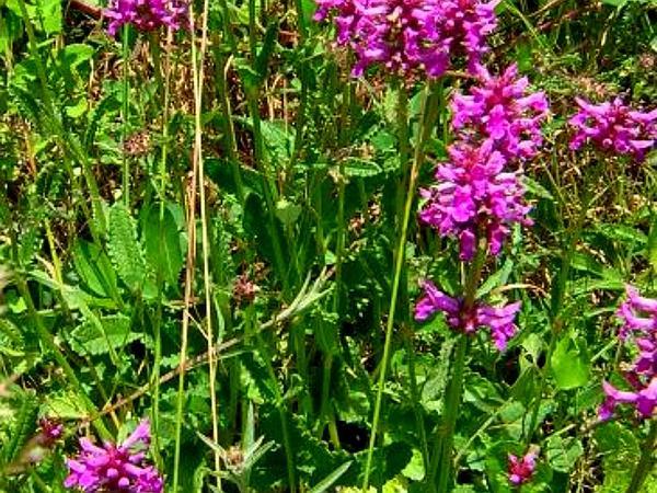 Common Hedgenettle (Stachys Officinalis) https://www.sagebud.com/common-hedgenettle-stachys-officinalis/