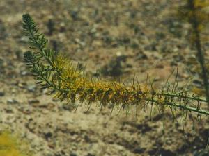 Desert Princesplume