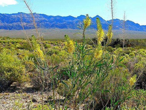 Desert Princesplume (Stanleya Pinnata) https://www.sagebud.com/desert-princesplume-stanleya-pinnata