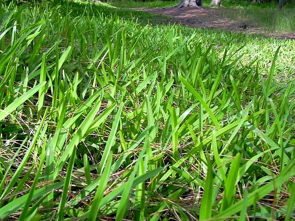 St. Augustine Grass (Stenotaphrum Secundatum) https://www.sagebud.com/st-augustine-grass-stenotaphrum-secundatum